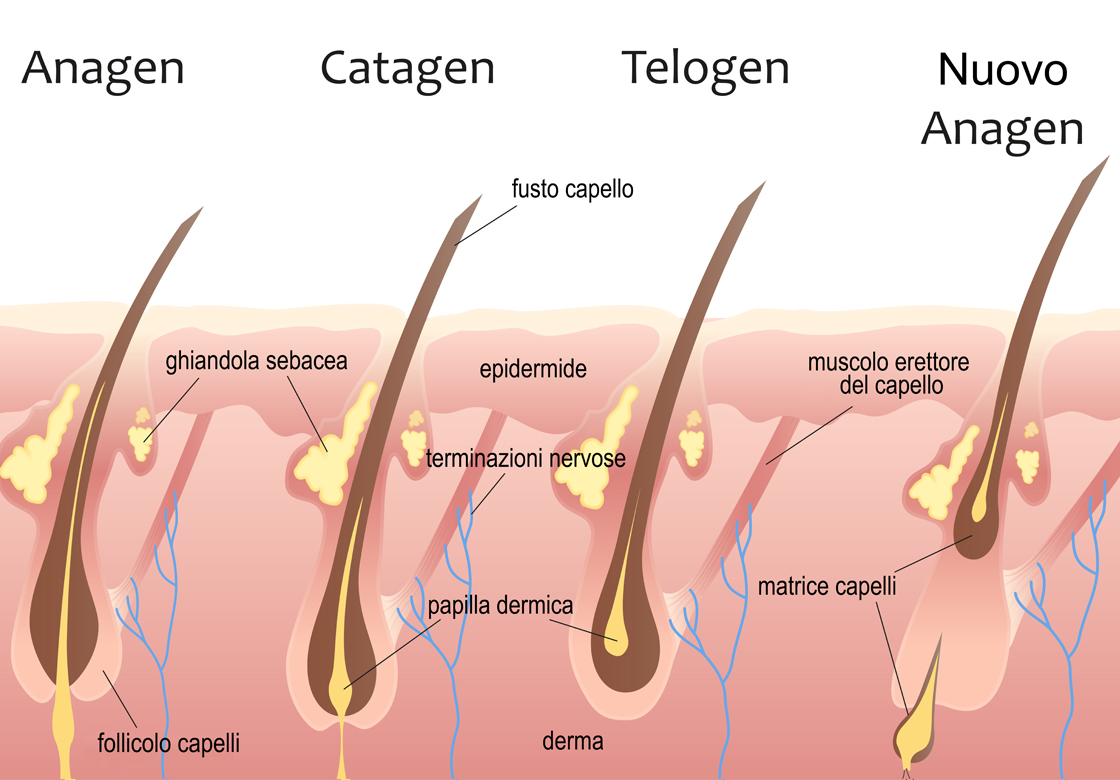 Human head hair growth cycle. Biological catagen, telogen phases